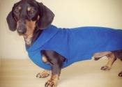 debonair-dachshund-2
