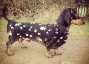 debonair-dachshund-3