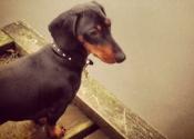debonair-dachshunds-1
