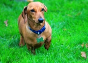 Harvey- Smooth haired red mini dachshund