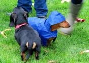Horsham Dachshund Meet up- October 2012